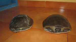 Two held by AP Police for smuggling about 700 tortoises